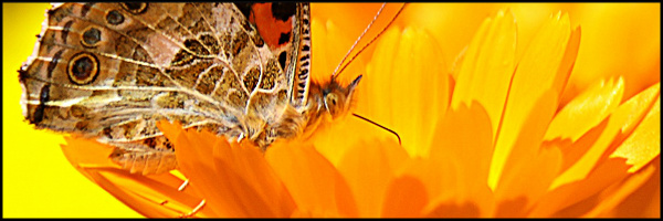 Butterfly on a Flower Banner 60x20