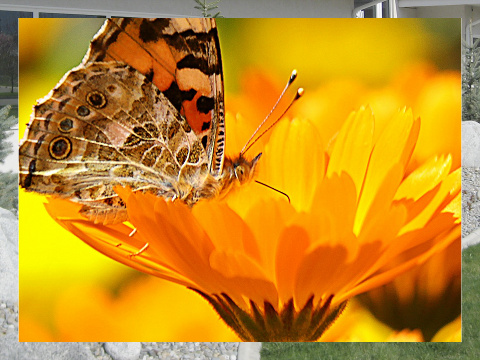 Butterfly on a Flower Exterior Signs 24x18