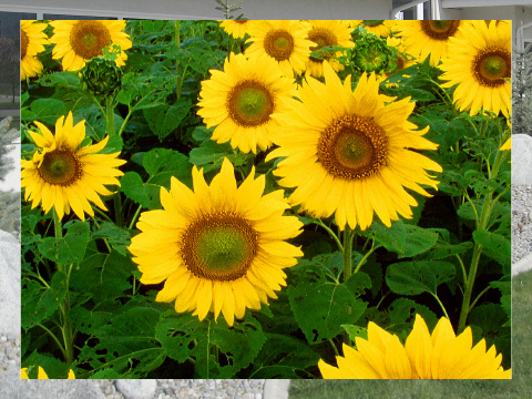 Sunflower Field Exterior Signs 24x18